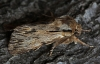 Sprawler Asteroscopus sphinx 1 Copyright: Graham Ekins