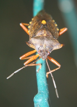Shield bug at night 03.09.18 Copyright: Daniel Blyton