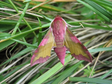 Small Elephant Hawkmoth. Copyright: Stephen Rolls