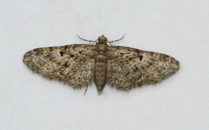 Juniper Pug  Eupithecia pusillata Copyright: Graham Ekins