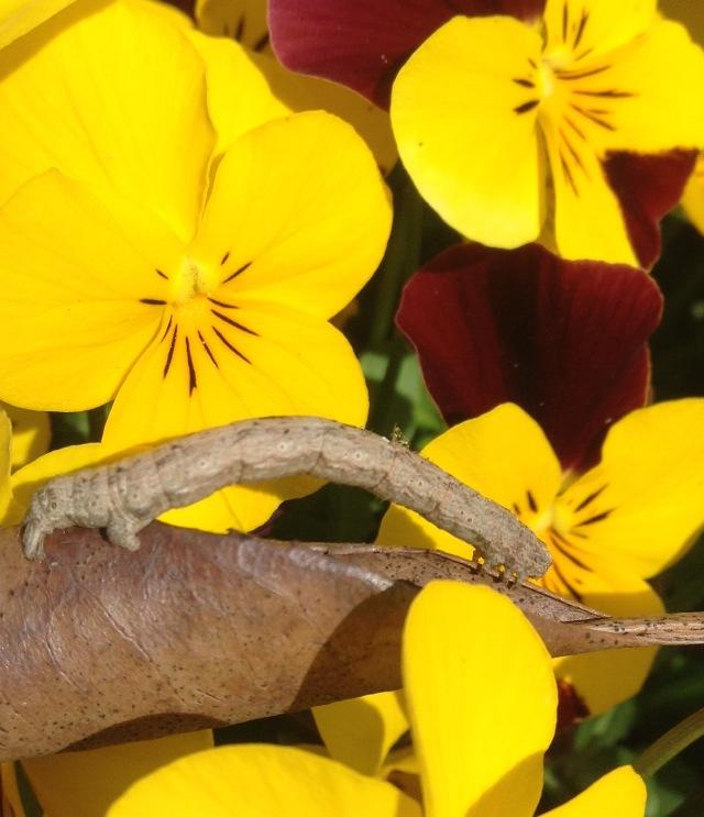 Twig Caterpillar Copyright: Sophie Dennison