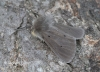 Muslin Moth  Diaphora mendica 2 Copyright: Graham Ekins