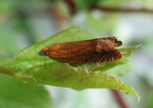 Lathronympha strigana. Copyright: Stephen Rolls