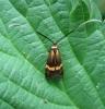 Nemophora degeerella 2 Copyright: Stephen Rolls