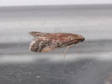 Ephestia parasitella Copyright: Peter Furze