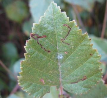 Stigmella betulicola Copyright: Stephen Rolls