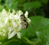 Dasysyrphus albostriatus female Copyright: Roger Payne