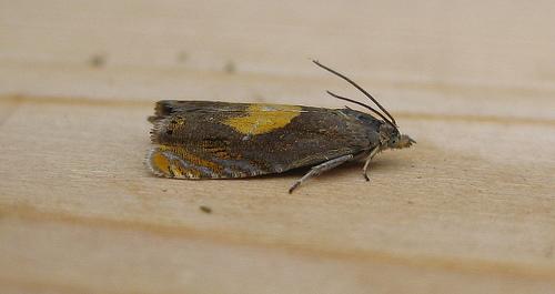 Dichrorampha alpinana. Copyright: Stephen Rolls