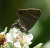 White-letter Hairstreak - missing tail streamers Copyright: Robert Smith