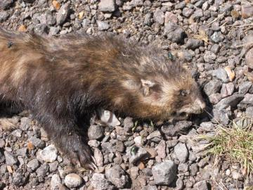 Polecat or Ferret Copyright: David Corke
