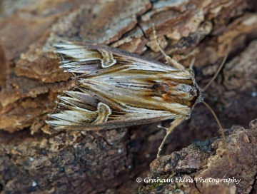 Purple Cloud  Actinotia polyodon Copyright: Graham Ekins