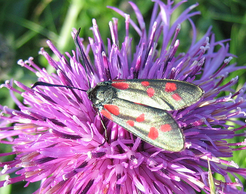 Six Spot Burnet 2. Copyright: Stephen Rolls