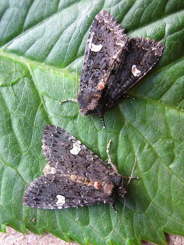 Dot Moth 2 Copyright: Stephen Rolls