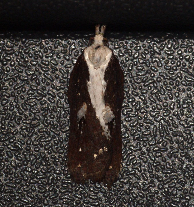 Acleris cristana 7 Copyright: Ben Sale