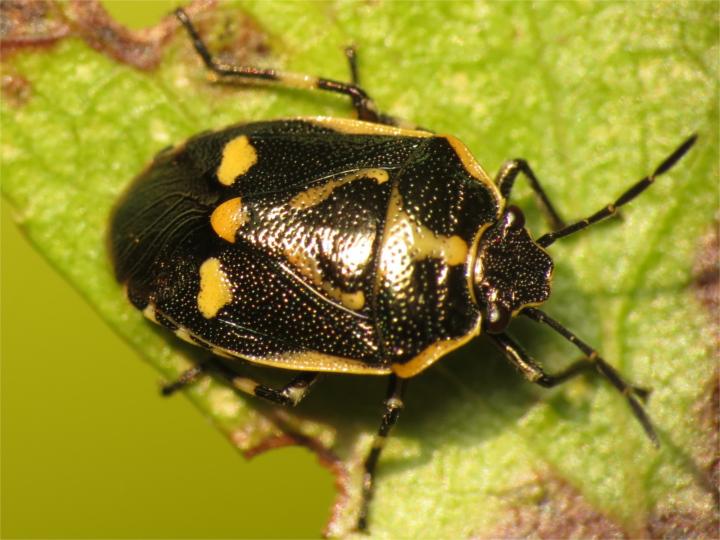 Eurydema oleracea 20151009-4901 Copyright: Phil Collins