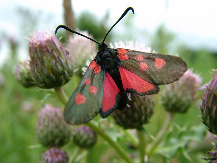Five-spot Burnet Copyright: Ben Sale