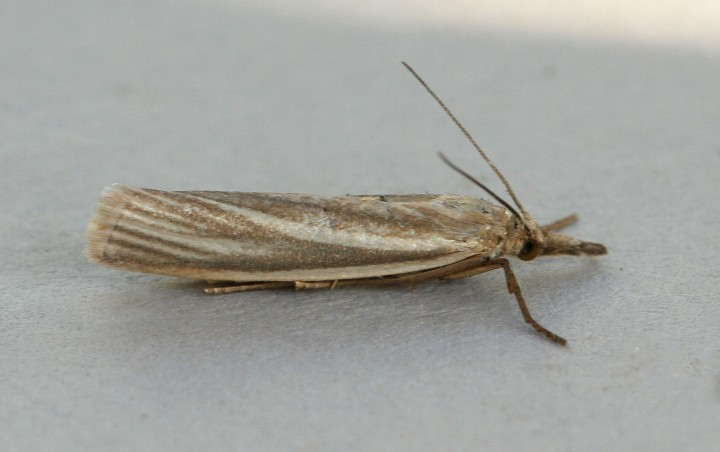 Crambus perlella form warringtonellus Copyright: Graham Ekins