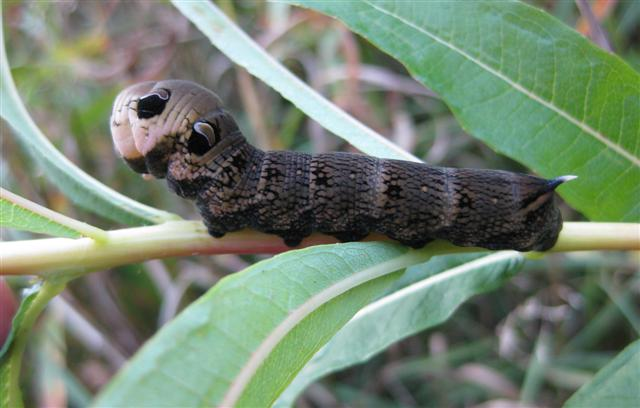Elephant Hawkmoth Cat. Copyright: Stephen Rolls