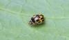 Propylea quattuordecimpunctata 3 Copyright: Graham Ekins