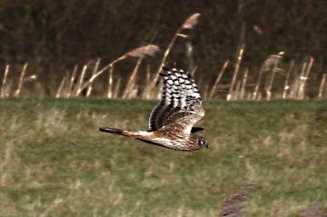 Hen Harrier 1 Copyright: Graham Smith