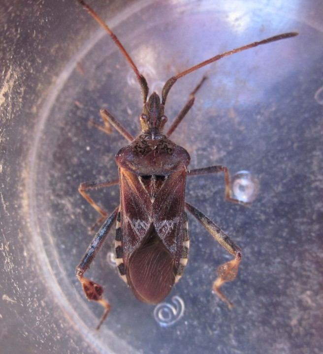 Western Conifer Seed Bug 2 Copyright: Clive Atkins