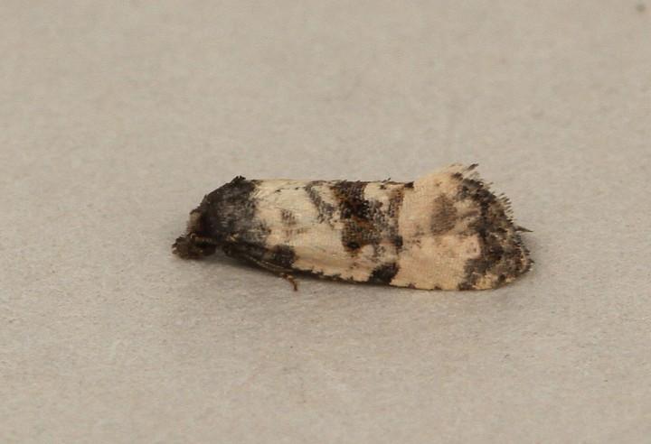 Cochylis atricapitana 3 Copyright: Graham Ekins