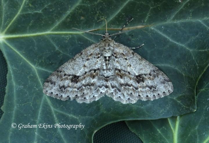 Engrailed Ectropis crepuscularia Copyright: Graham Ekins