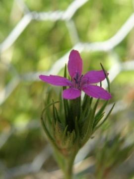 Dianthus armeria 2 Copyright: Sue Grayston