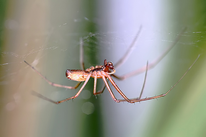 Linyphia triangularis - male (21 Aug 10) Copyright: Leslie Butler