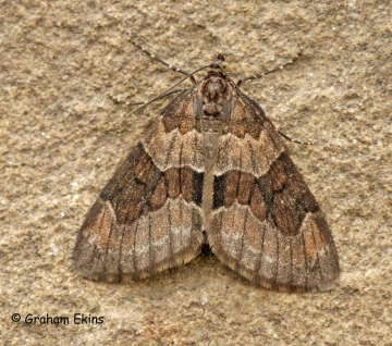 Thera obeliscata 1 Copyright: Graham Ekins