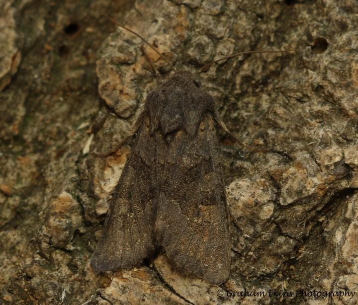 Deep Brown Dart  Aporophyla lutulenta Copyright: Graham Ekins