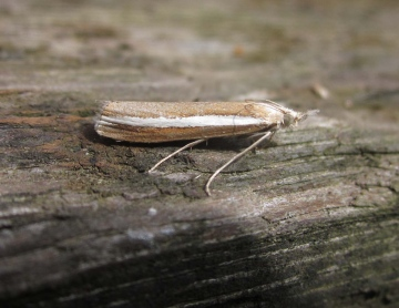 Agriphia latistria 1 Copyright: Clive Atkins
