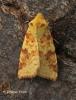 Cirrhia icteritia Sallow Copyright: Graham Ekins