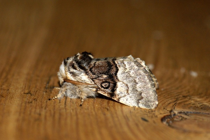 Nut-tree Tussock Copyright: Ben Sale