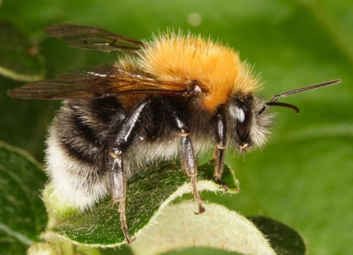 Bombus hypnorum male Copyright: Peter Harvey