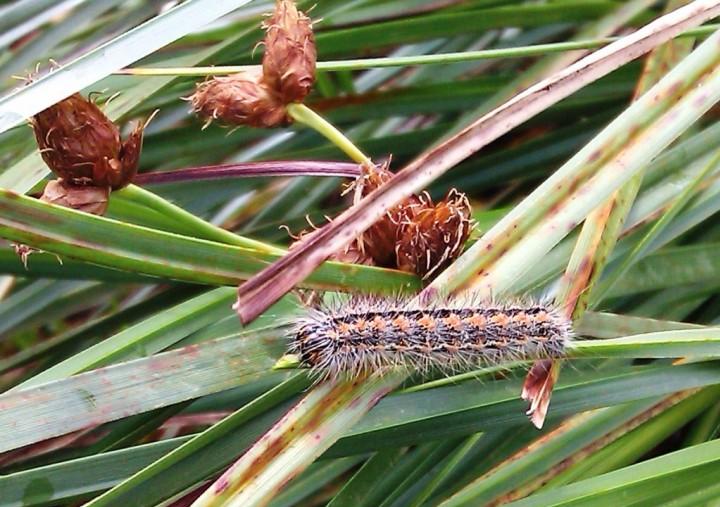 Reed Dagger caterpillar Copyright: Graham Smith
