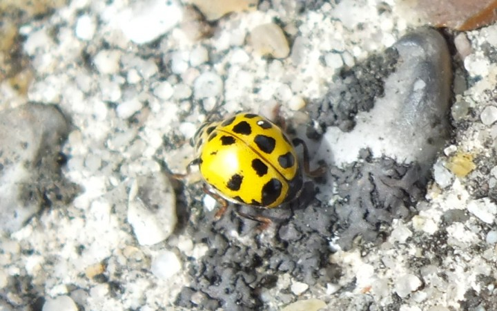 22-Spot Ladybird with missing spots Copyright: Peter Pearson
