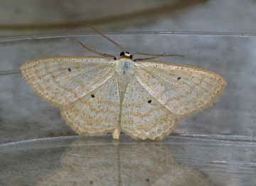 Lesser Cream Wave  Scopula immutata 1 Copyright: Graham Ekins