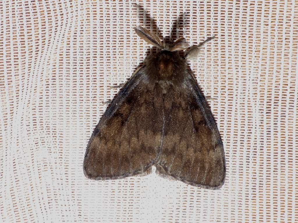 Gypsy Moth Copyright: Peter Furze
