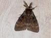 Gypsy Moth Copyright: Peter Furze