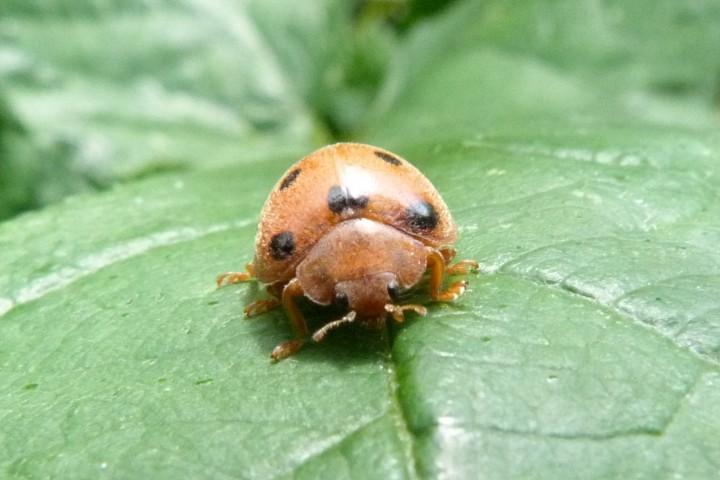Bryony Ladybird Henosepilidana argus Copyright: Howard Vaughan