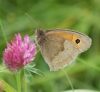Meadow Brown (male underside) Copyright: Robert Smith