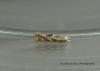Bucculatrix bechsteinella 5 Copyright: Graham Ekins