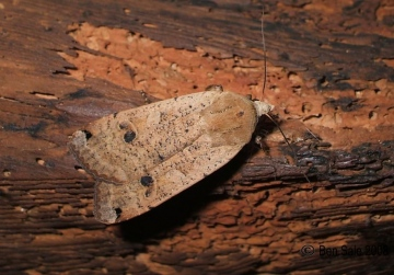 Large Yellow Underwing 3 Copyright: Ben Sale
