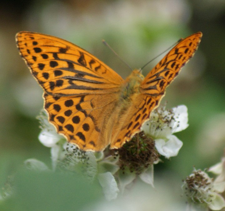 Silver-washed Fritillary (male) Copyright: Robert Smith