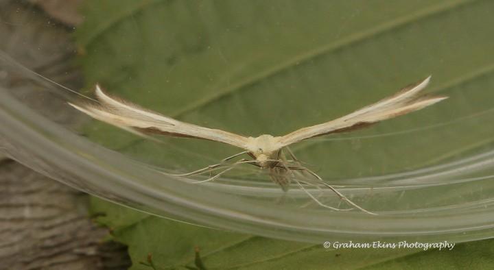 Merrifieldia baliodactylus  2 Copyright: Graham Ekins