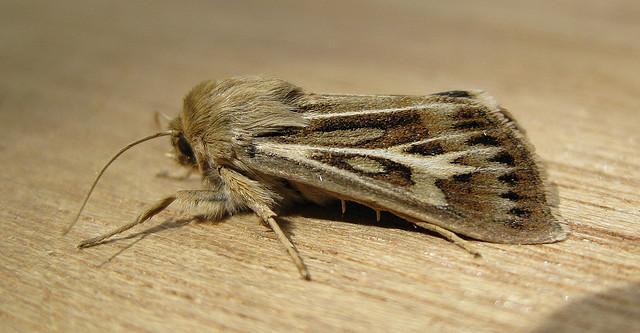 Antler Moth. Copyright: Stephen Rolls