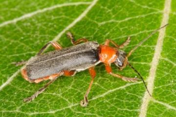 Cantharis pellucida Copyright: Peter Harvey