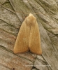 Arenostola phragmitidis  Fen Wainscot 4 Copyright: Graham Ekins