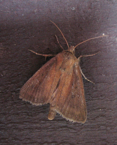 Twin Spotted Wainscot. Copyright: Stephen Rolls
